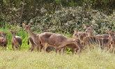 """ฝูงกวาง """"แก้มลิงหนองใหญ่"""" โดนน้ำป่าซัดหายกว่า 20 ตัว วอนผู้พบเห็นอย่าทำร้าย"""