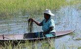 พัทลุงน้ำท่วมหนัก ชาวบ้านล่องเรือเกี่ยวข้าว บางส่วนเนาเปื่อยเสียหาย