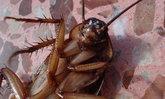 """ไขข้อข้องใจ เทรนด์ฮิตจากจีน """"กินแมลงสาบ"""" ลดความอ้วน-รักษาผมร่วงได้จริง?"""
