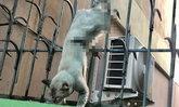 คนรักแมวสุดเสียว! กู้ภัยเร่งช่วยเจ้าเหมียวโดดพลาด ถูกเหล็กรั้วเสียบขาห้อยต่องแต่ง