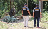 ช้างพลายธันวา โดนสั่งพักงาน หลังอาละวาดคลั่งทำร้ายฝรั่งเจ็บปางตาย