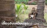ชาวสวนชี้แจง ใช้ลิงเก็บมะพร้าวคือภูมิปัญญา ดูแลเหมือนลูกไม่เคยทารุณ