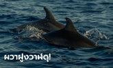 สเปนผวา! เจอฝูงวาฬเพชฌฆาตดุซุ่มโจมตีเรือเล็ก 3 ลำ ล่าสุดสั่งห้ามแล่นผ่านจุดเสี่ยง