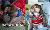 """ผอมแล้ว! ลิง """"ก็อตซิลล่า"""" น้ำหนัดลด 6.2 กก. ที่แท้ป่วยไทรอยด์ หมอแนะส่งคืนเจ้าของ"""