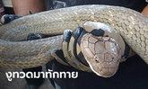 ตายายแทบเป็นลม งูจงอาง 5 เมตร เลื้อยมานอนกลางบ้าน สุดท้ายสิ้นฤทธิ์ถูกจับทาแป้ง