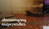 """นักท่องเที่ยวสะดุ้ง สวนสัตว์ดังจัดโชว์ """"เสือตะปบหมู"""" กรมอุทยานฯ ดูคลิปแล้วไม่ปลื้ม"""