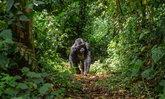 """""""ลิงใหญ่"""" ก็ติดเชื้อไวรัสโคโรนาได้เช่นเดียวกับคน"""