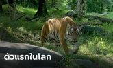ตะลึง! เสือโคร่งในสวนสัตว์นิวยอร์ก ติดเชื้อโควิด-19 เป็นตัวแรกในโลก