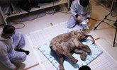 เอาจริง! รัสเซีย-เกาหลีใต้ เตรียมคืนชีพ ช้างแมมมอธ