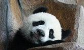 ไทยเศร้า! หลินปิง เตรียมกลับจีนแผ่นดินใหญ่