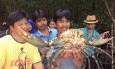 กระบี่พบปูทองหลางยักษ์-หอยแครงใหญ่
