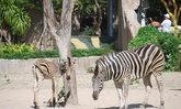 สวนสัตว์เปิดเขาเขียวได้สมาชิกใหม่ลูกม้าลาย