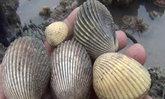 ฮือฮา พบหอยแครงโผล่ชายหาดท่ามะพร้าวอื้อ