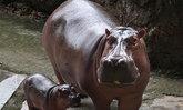 สวนสัตว์ขอนแก่นได้สมาชิกใหม่ลูกฮิปโป