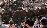 คึกคัก! คนแห่ถ่ายรูปเจ้าแมวเคลิ้มหลับบนต้นซากุระดอกบานสะพรั่งที่ญี่ปุ่น