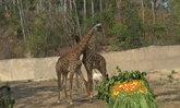 สวนสัตว์เชียงใหม่จัดงานวิวาห์ยีราฟหนุ่มสาว