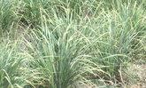 ชาวนาลพบุรีหันปลูกตะไคร้รายได้สูงกว่าเท่าตัว