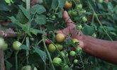 เกษตรกรสงขลาทำดิน-ปลูกพืชผักสวนครัวขาย