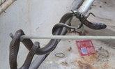 สุดแปลก! งูเห่าเข้าบ้านเลขที่ 80 ของสาวอายุ 18 ท้อง 8 เดือน เวลา 18.00 น.