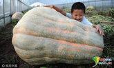 ใหญ่มาก! ฟักทองยักษ์หนักกว่า 280 กก. ที่จีน คนแห่ดูเพียบ