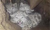 ชาวบ้านพบลูกเสือดาวหิมะหายาก 3 ตัวในถ้ำที่มณฑลเสฉวน