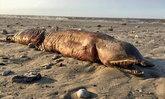 พบซากสัตว์ประหลาดเกยตื้นหาดเท็กซัส หลังเฮอร์ริเคนฮาร์วีย์ถล่ม