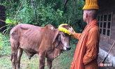 สะเทือนใจ เจ้าของตัดใจขายวัวรักษาพ่อ สุดท้ายรอดโรงเชือดหวุดหวิด