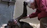 สุดเศร้า! ลิงแชมแพนซีดีใจยิ้มกว้าง เพื่อนเก่ามาเยี่ยมตอนป่วยใกล้สิ้นใจ