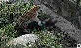 นาทีชีวิต! เสือไซบีเรียหลุดขย้ำจนท. ต่อหน้านทท.ที่พยายามช่วย