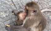 ลูกลิงน้อยน่าสงสาร แอบดูดกาแฟถุงที่ทิ้งไว้ นอนสลบเกือบไม่รอด