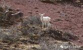 จีนพบกวางสีขาวหายากครั้งแรก ถือเป็นสัตว์ป่าคุ้มครองระดับ 2 ของประเทศ