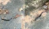 พบอีกแล้ว หนอนตัวแบนนิวกินี ในพื้นที่บ่อวิน จ.ชลบุรี