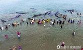 ชาวอินโดนีเซียช่วยวาฬสเปิร์ม 12 ตัวเกยตื้นกลับสู่ทะเล