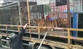 ชายชราจีนป้อนธนบัตรให้เสือด้วยมือเปล่า ถูกกัดนิ้วขาด