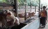 ป้าชาวสุโขทัยโชคดีมีเงินล้าน เชื่อเพราะไถ่ชีวิตเด็กสาวที่มาเกิดเป็นวัว