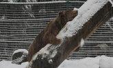 สะเทือนใจ เจ้าหมีเริงร่าเล่นหิมะครั้งแรก หลังถูกจับขังกรงมานาน 20 ปี