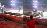 นาทีชีวิต เสือ-สิงโตรุมขย้ำม้าขณะฝึกซ้อมละครสัตว์ที่จีน