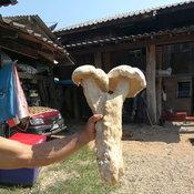 ฮือฮาชาวบ้านเก็บเห็ดยักษ์รูปลัดขิกมาถ่ายรูปก่อนนำไปรับประทานเป็นอาหาร
