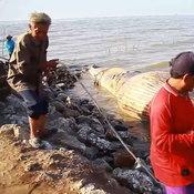 ชาวบ้านนิมนต์พระสวดบังสะกุลซากวาฬบรูด้า ขณะสัตวแพทย์ระบุกามด้านบนหักและถูกกระแทกอย่างแรง