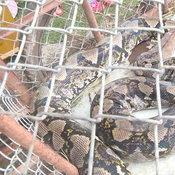 งูเหลือมยักษ์