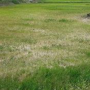 โคราช-ชาวนาโคราชเดือดร้อนฝนทิ้งช่วงนานนับเดือนข้าวเริ่มยืนต้นตาย ร้องนายอำเภอลงพื้นที่ตรวจสอบหาทางช่วยเหลือ