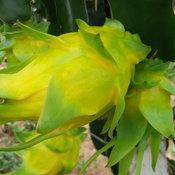 160662 เลย เกษตรกรปลูกมังกรสีเหลืองรายแรกของเมืองเลยหวานเหมือนลิ้นจี่กิโลละ 120 บาท