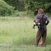 ชาวนาสกลนคร จำใจตัดต้นข้าวที่ยืนต้นตายทิ้งให้วัวควายกิน หลังประสบภัยแล้งฝนทิ้งช่วงยาวนาน ทำต้นข้าวขาดน้ำแห้งเหี่ยวตาย
