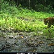 Fwd อช.แก่งกระจานเปิดภาพเสือโคร่งขนาดใหญ่