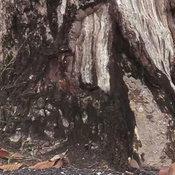 ต้นยางนาโบราณ เมืองคอน