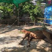 ประจวบคีรีขันธ์ ผลตรวจยืนยัน ม้าชายหาดหัวหิน ป่วยตายเฉียบพลันด้วยโรคกาฬโรคในม้า เป็นจังหวัดที่2ของประเทศไทย