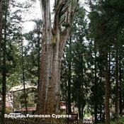 7.Alishan Sacred Tree