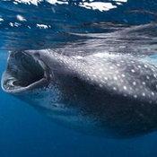 10. ภาพนาทีระทึกขณะฉลามวาฬ กำลังแหวกว่ายอ้าปากไล่ตามนักดำน้ำ ซึ่งลงไปให้อาหารมันนอกชายฝั่งเม็กซิโก