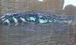 พบปลาประหลาด!! โผล่กลางสระน้ำโบราณ ชาวโคราชกว่า 2 พันคนแตกตื่นแห่ดู
