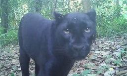 เสือดำทุ่งใหญ่นเรศวรฯ ที่โดนล่า อาจเป็นตัวเดียวกับที่โผล่เล่นกล้องปีก่อน